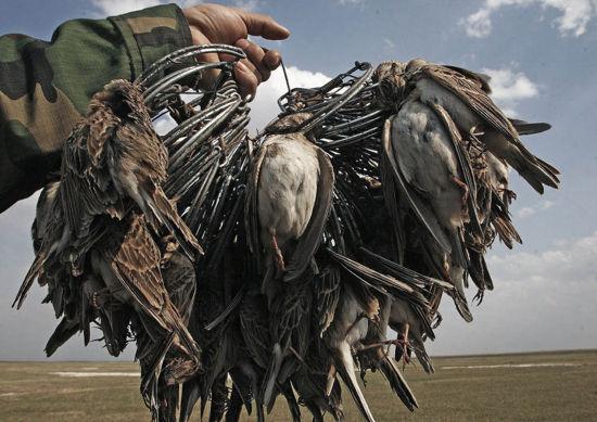 国家一级重点保护野生鸟类丹顶鹤