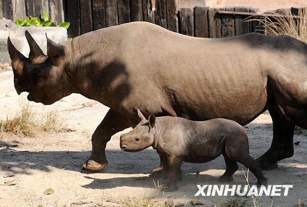 广州香江动物园黑犀牛喜得贵子