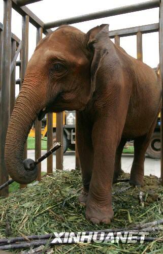 5头小象被寄养在海南省海口市中国野生动物保护