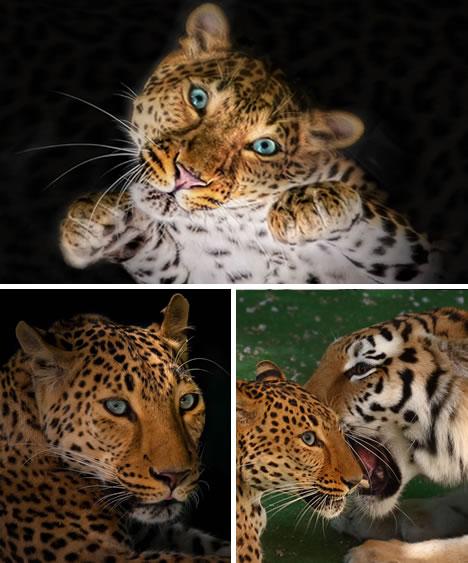 而美洲豹却是这四种大型猫科动物中最小的一个