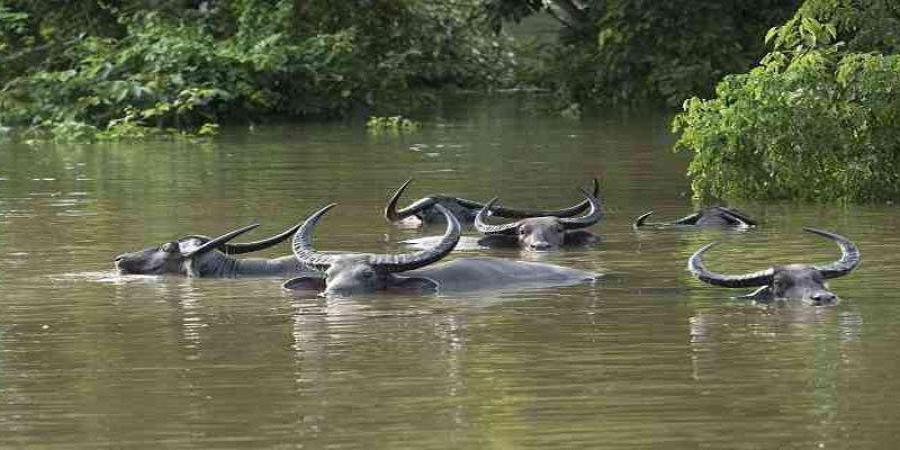洪水对动物的影响