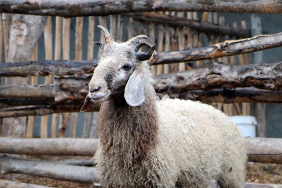 新疆一公绵羊长出五只犄角酷似wifi天线