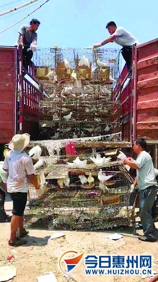 近200万羽固化存栏白鸽撤离潼侨 125养殖户确认补偿表