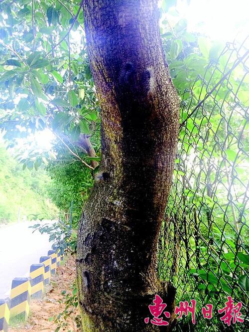 高榜山盘山公路旁的树上有不少毛毛虫.