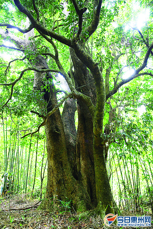 惠州最老粘木树在惠东(组图)