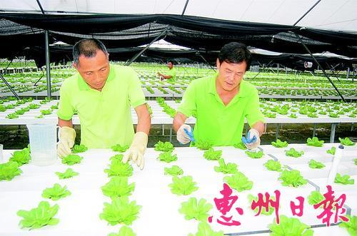 ▲工人查看水培蔬菜生长情况。
