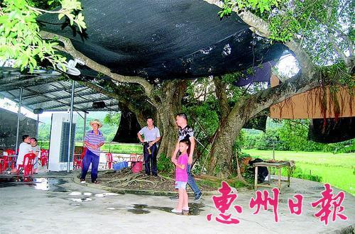 ▲村里的古榕树。