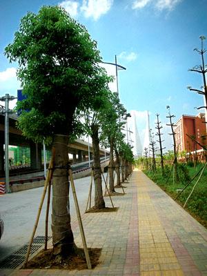 人行道边种上 变色树 高清图片
