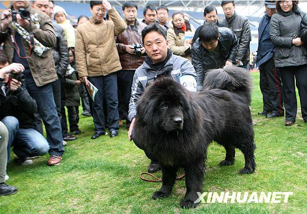 """中国 藏獒/获得总决赛全场总冠军的名叫""""天龙""""的藏獒与它的主人在一起。..."""