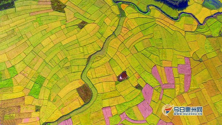 如果从空中鸟瞰一望无垠的稻田,会是一幅怎样的美丽画卷?