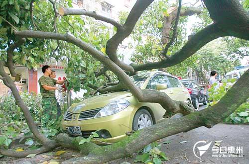10多米高的大树横卧在路中央,小汽车车身被砸得有点变形.图片