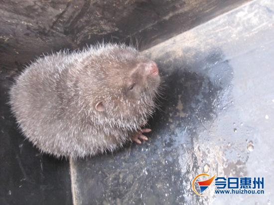 """现身陈江的砖大""""竹鼠""""是广东三级保护动物"""