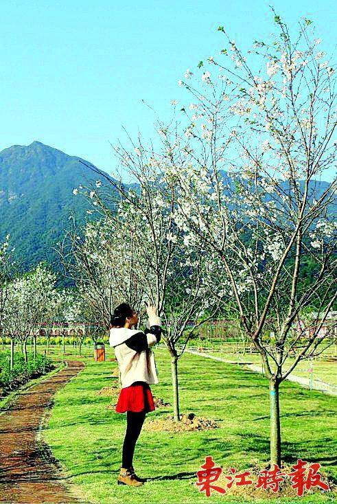 """▲游客正在""""那里花开""""主题公园观赏樱花。"""