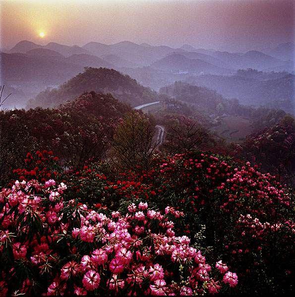 毕节贵州来惠推介3月中旬将邀共赏百里杜鹃v杜鹃攻略去夏威夷图片