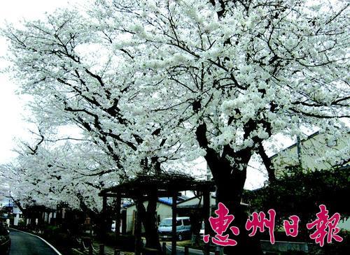 杭州白塔公园樱花
