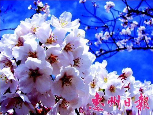 折纸樱花灯笼 步骤 图解